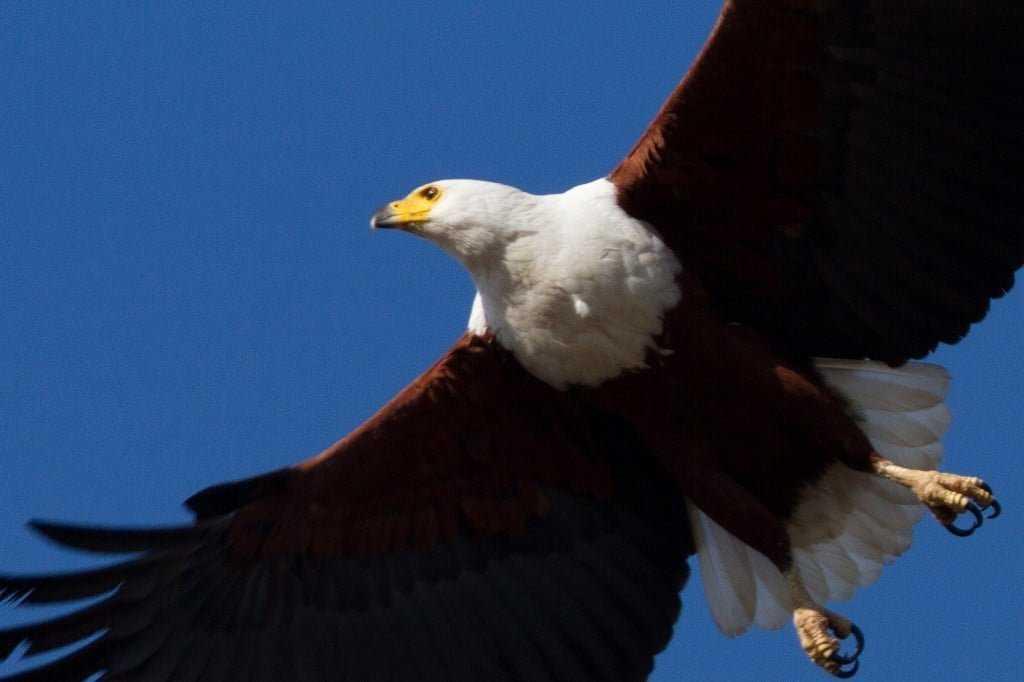 Fish Eagle Rust de Winter